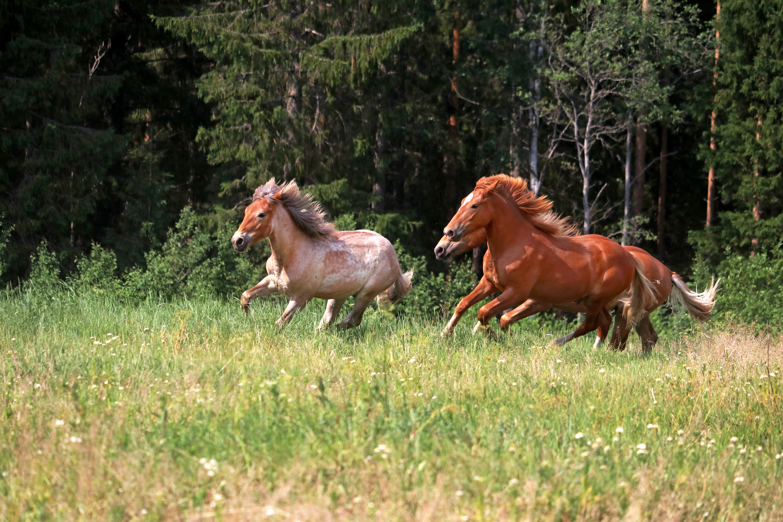Suomenhevosia laitumella
