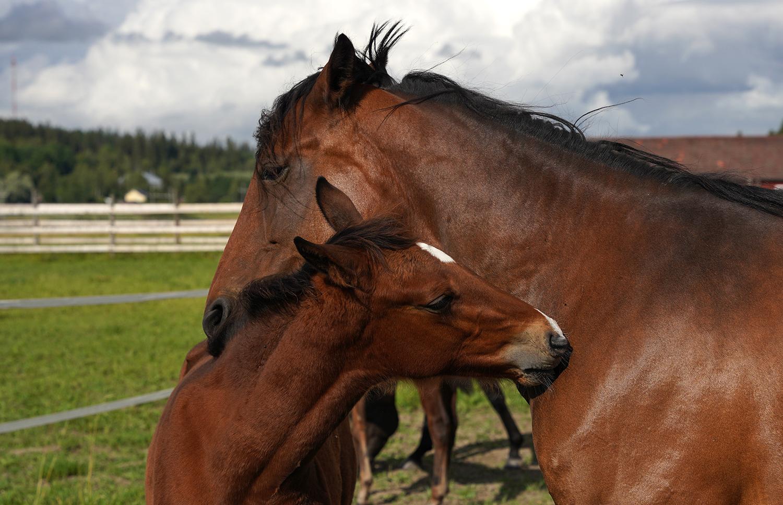 Yleiskuva hevosista