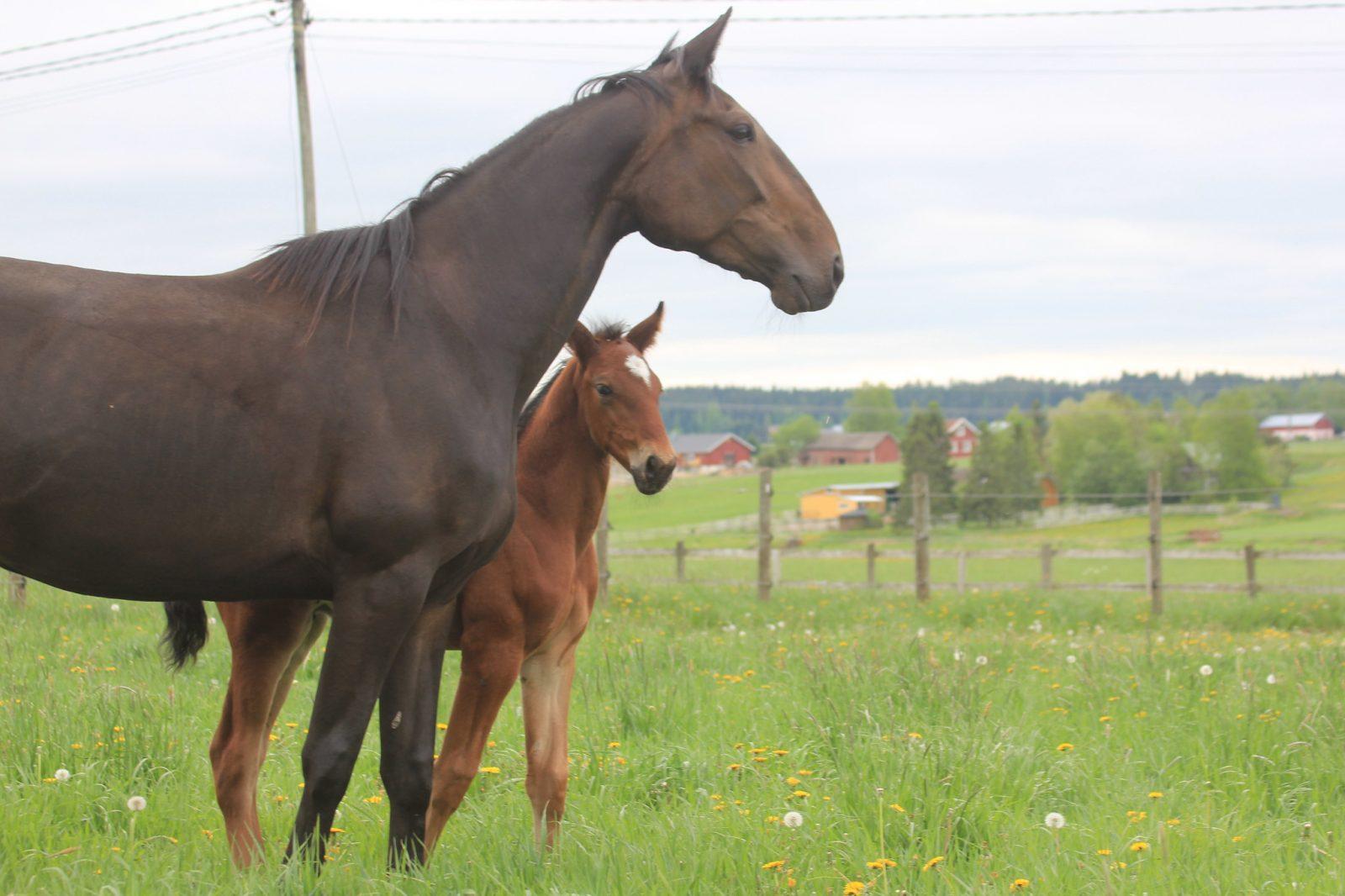 Hevoset laitumella