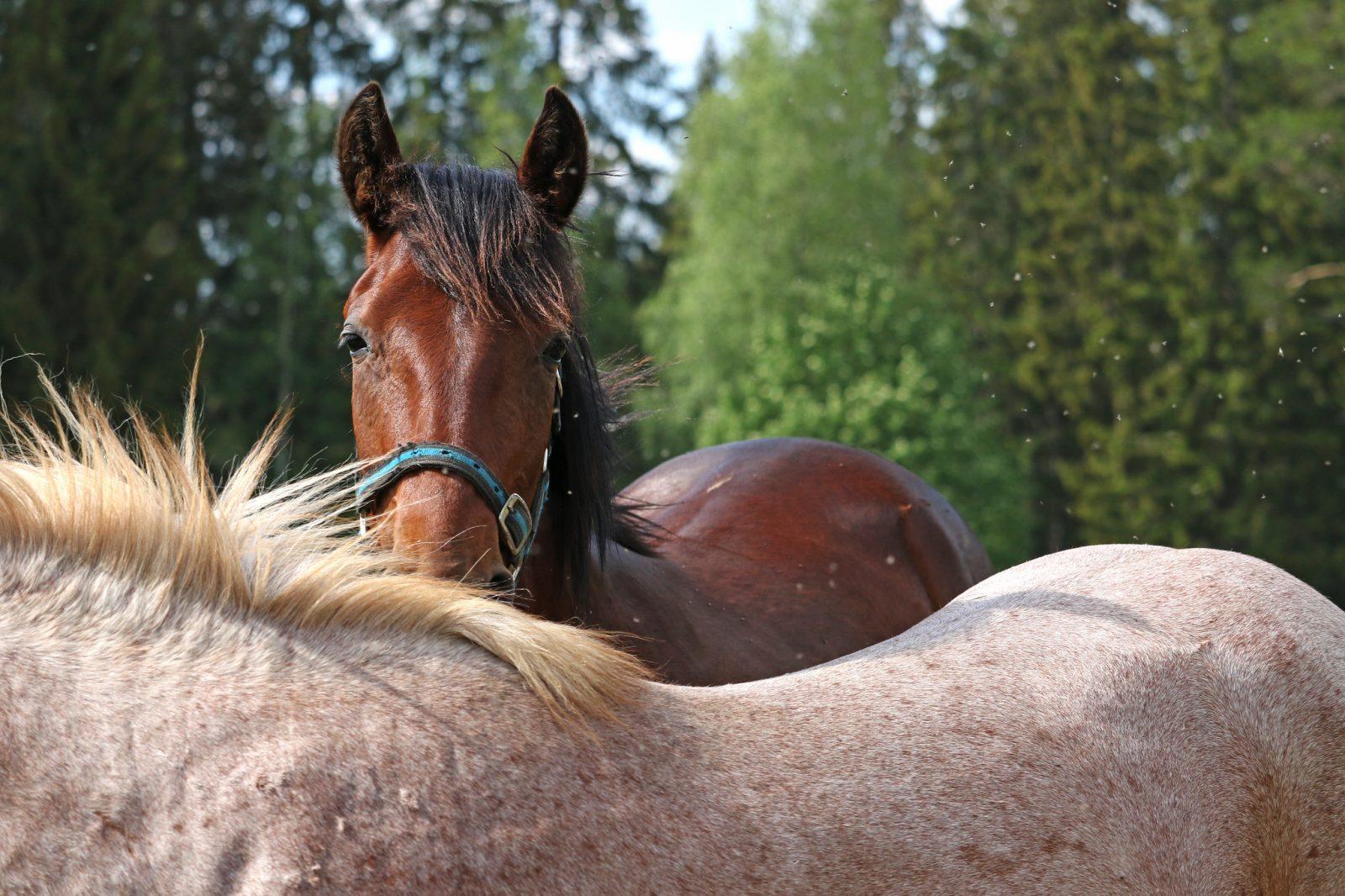 yleiskuva hevosesta